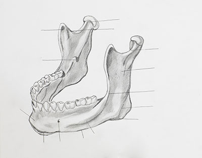 lower jaw drawing